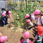 みつばちファームでミニトマトときゅうりの収穫をしました。そら組さんの給食風景です。
